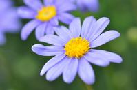 Blue Daisy Stock photo [758247] Blue