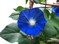 Morning glory Heavenly Blue Stock photo [758565] Morning