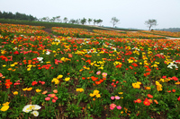 Nasu poppy meadow Stock photo [758636] Poppy