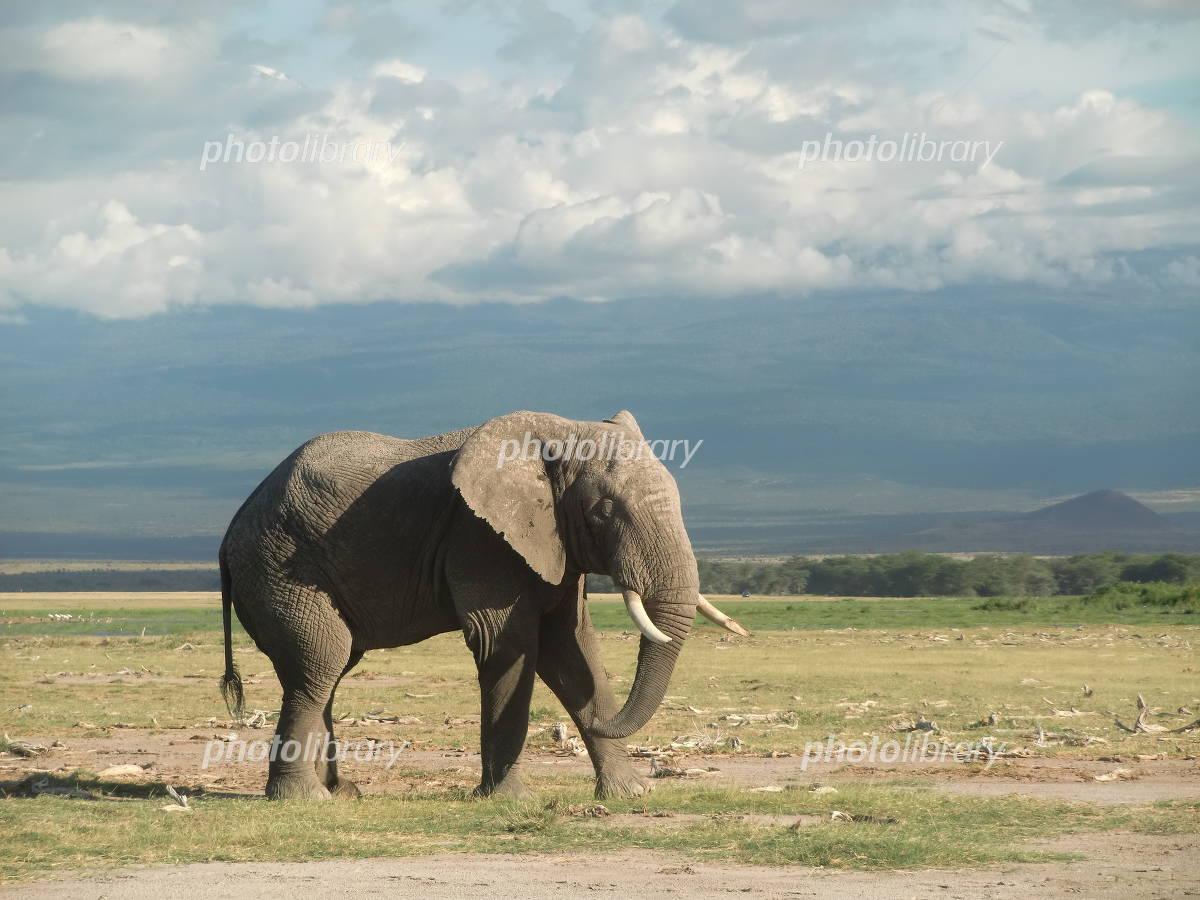 ケニア アンボセリ国立公園 アフリカゾウの写真