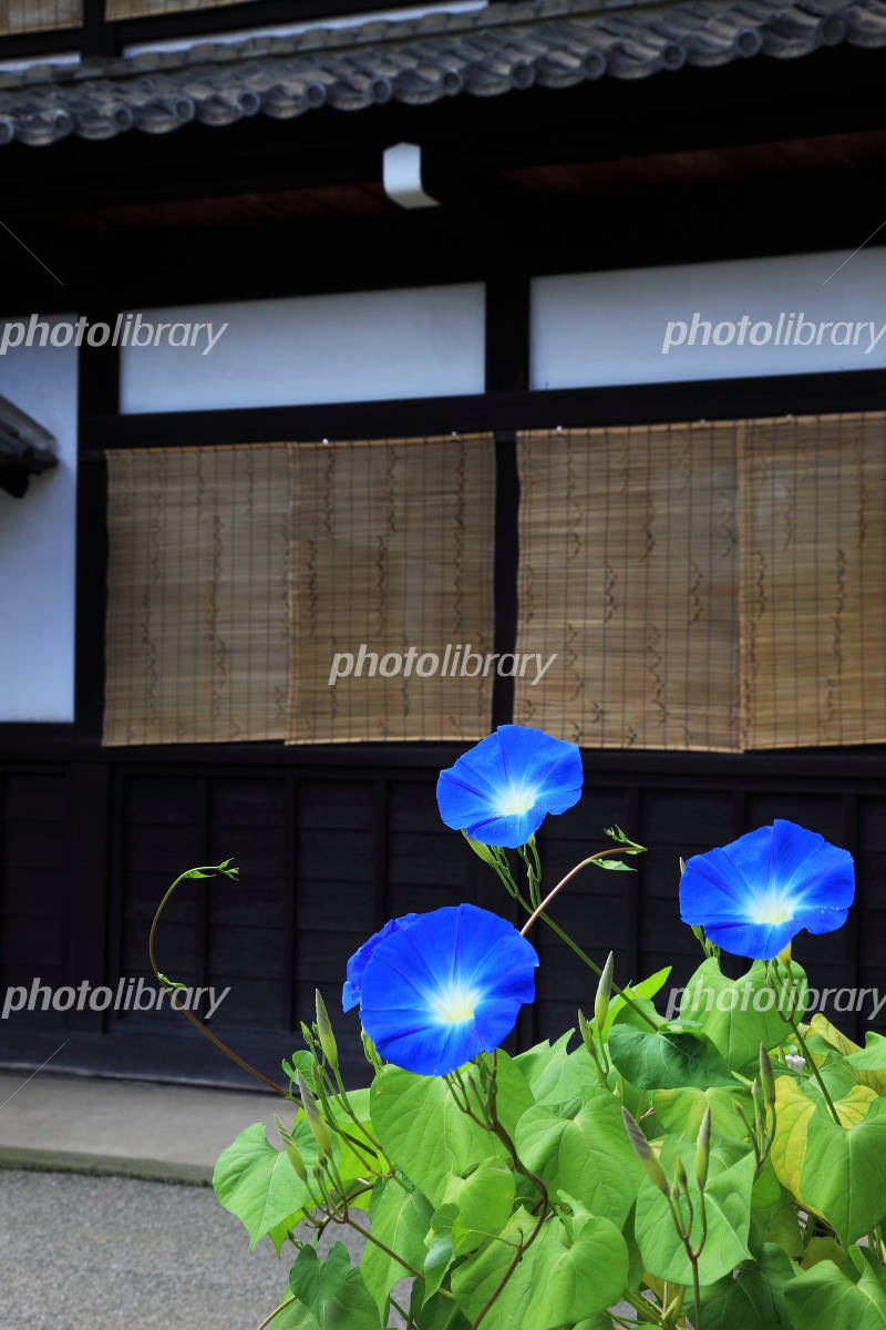 Blind and morning glory Photo