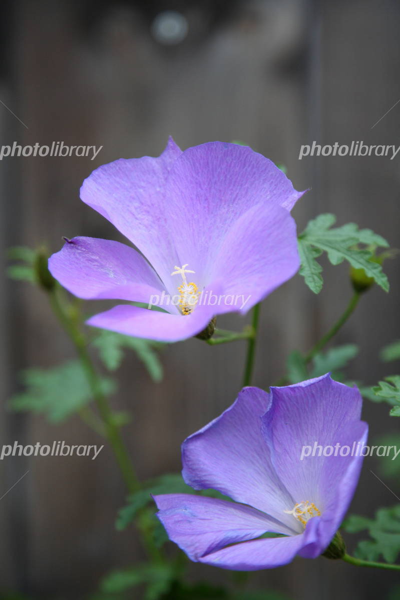 Blue Hibiscus Photo