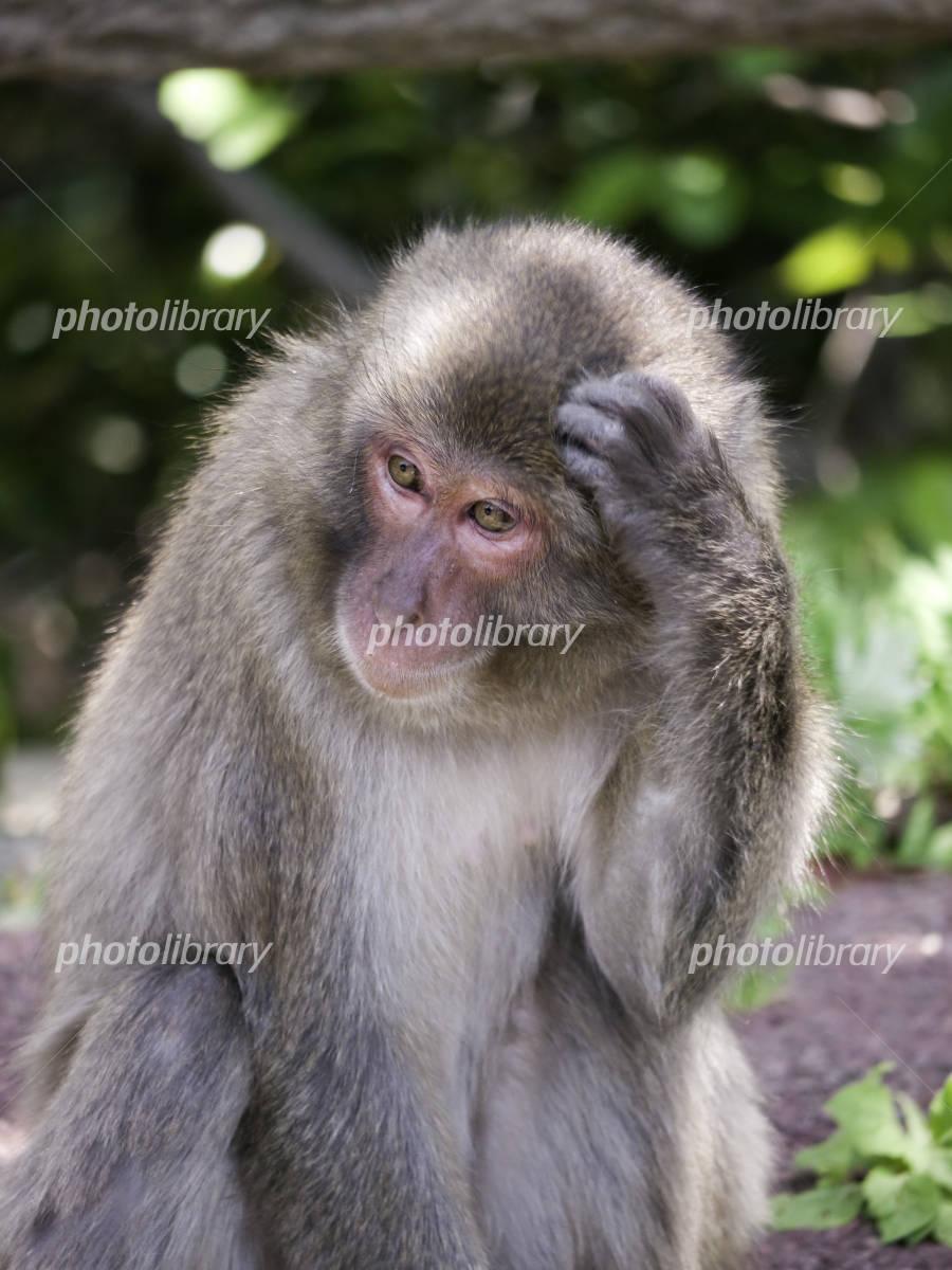 頭をかく猿 写真素材 58 フォトライブラリー Photolibrary