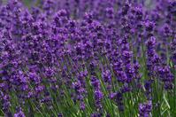 Lavender flower Stock photo [827868] Lavender