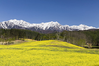 Rape flowers and Northern Alps Stock photo [828162] Rape