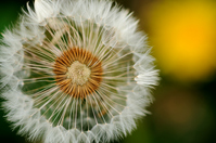 Dandelion seeds Stock photo [828329] Wildflower