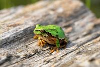 Japanese tree frog Stock photo [829042] Tree