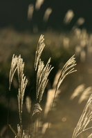 Japanese pampas grass Stock photo [831937] Japanese