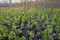 Skunk cabbage Stock photo [832343] Water