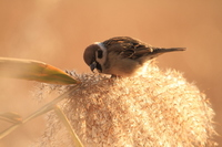 Sparrow and pampas grass Stock photo [833105] Sparrow