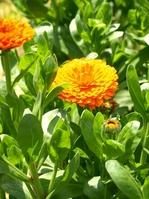 Calendula officinalis Stock photo [833661] Chrysanthemum
