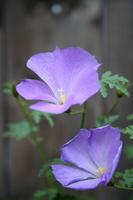 Blue Hibiscus Stock photo [836458] Blue