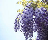 The wisteria flowers Stock photo [836884] Fuji