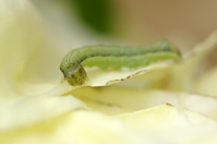 Cabbage butterfly larvae Stock photo [838999] Pieris