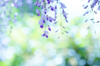 Shining light and wisteria Stock photo [839805] Rattan