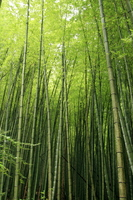 Bamboo forest Stock photo [840229] Bamboo