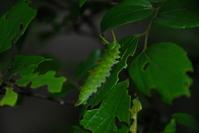 Larvae of Sasakia charonda Stock photo [841064] Sasakia
