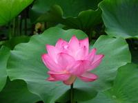 Lotus Shinobazunoike Stock photo [842452] Lotus