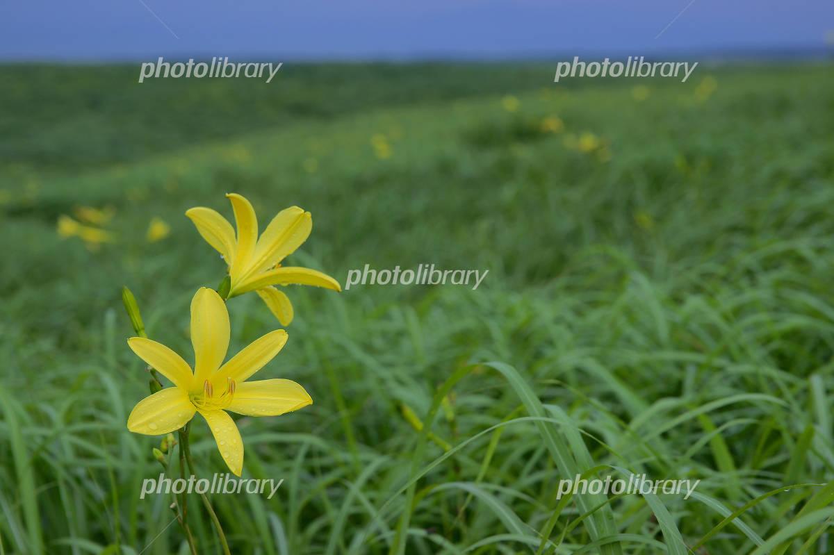 Yuusuge of flower Photo