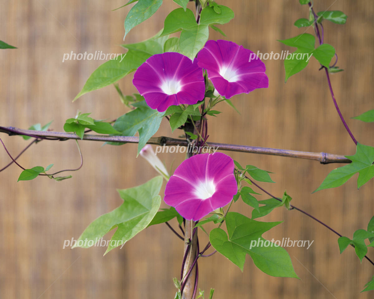 Morning glory flowers wrapped with vine Photo