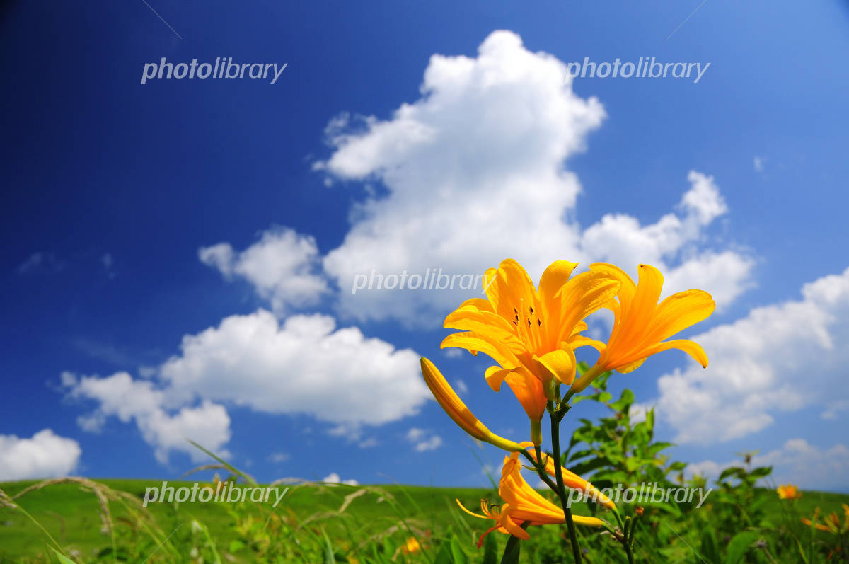 Day lily and summer sky Photo