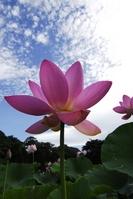 Lotus Stock photo [898319] Lotus