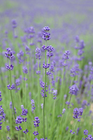 Fields of lavender Stock photo [898383] Lavender