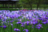 Gregariousness of irises Stock photo [900174] Acorus