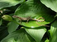 Japanese Grass-Lizard Stock photo [900778] Japanese