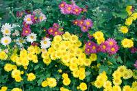 Chrysanthemum Stock photo [901441] Chrysanthemum