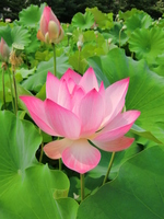 Lotus flower and bud Stock photo [903649] Aichi