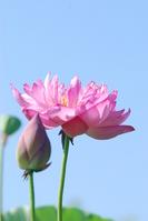 Lotus double flower Stock photo [904528] Lotus