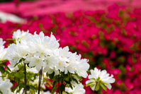 Full bloom of azalea flowers Stock photo [905399] Azalea