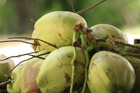 Coconut Stock photo [905950] Southern