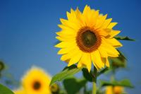 Sunflower Stock photo [907316] Sunflower