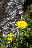 Dandelion flowers and brook babbling Stock photo [907829] Dandelion