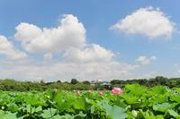 Blue sky and lotus flowers bloom Shinobazunoike Stock photo [908296] Summer