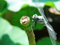 Dragonfly that prey on insects Stock photo [908894] Eat