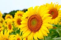 Carrier sunflower Stock photo [910478] Sunflower
