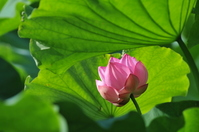Sankei-en lotus Stock photo [910807] Sankeien