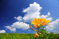Day lily and summer sky Stock photo [911226] Plateau