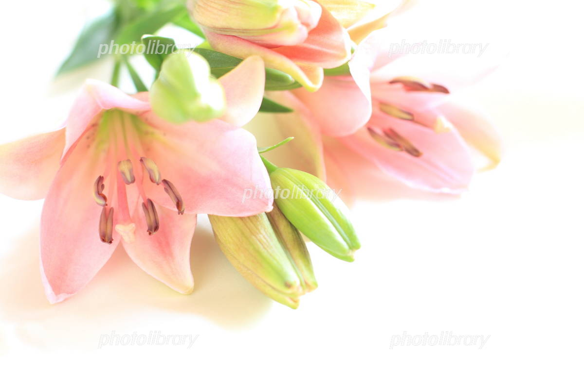 Pink lily Photo