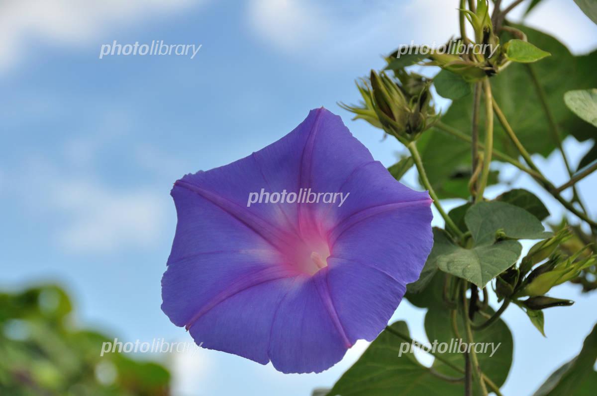 Morning glory Photo