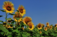 Sunflower Stock photo [997555] Sunflower