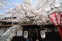 Arc de Sakura Stock photo [999245] Cherry