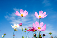 Cosmos flowers and sky Stock photo [999265] Cosmos