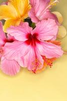 Hibiscus Stock photo [999770] Hibiscus