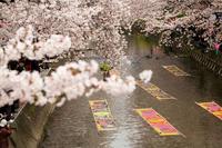 Gojō River Stock photo [1001201] Cherry