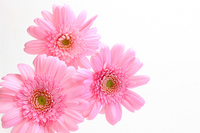 Gerbera Stock photo [1001426] Gerbera