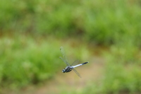 Flight of Orthetrum albistylum Stock photo [1002865] Natural